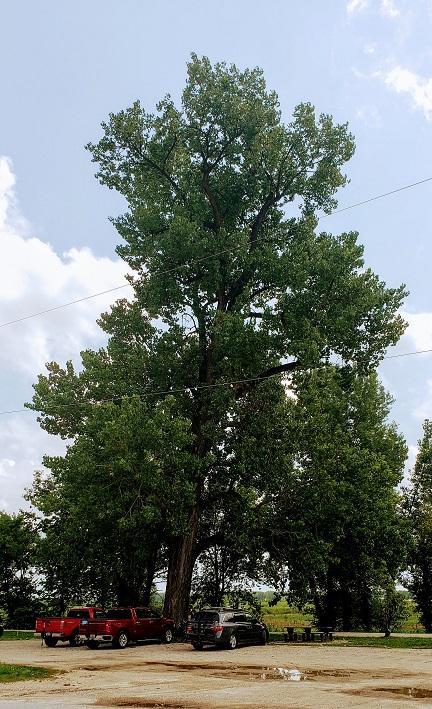giant cottonwood.jpg